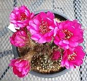 꽃피우는 로비비아 화은옥 선인장 46|Haworthia truncata