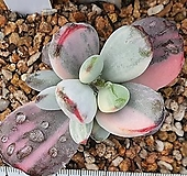 수박 방울복랑금_30번|Cotyledon orbiculata cv variegated