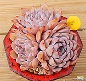 핑크자라고사|Echeveria mexensis Zaragosa