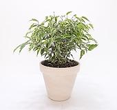 칼라벤자민 (중) *쟈스민 식물* 