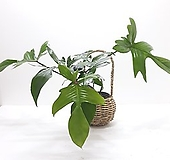 필로덴드론 플로리다그린, 페다튬 (소) *쟈스민 식물* 