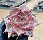 레드에보니 44-8|Echeveria agavoides ebony red