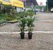 원플원 아레카야자 중대품 60~90cm 249 공기정화식물 반려식물|