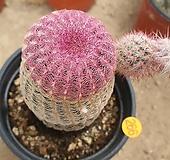 자태양 선인장05252|Echinocereus rigidissimus Purpleus