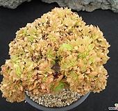 청법사철화 0525|Aeonium arboreum
