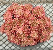소인제 금(복륜금) 중품 군생_p80 Aeonium sedifolius