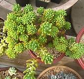 팔천대철화대품|Sedum corynephyllum