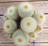 금황성 선인장|Echeveria pulvinata