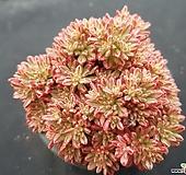 소인제금복륜금6740 Aeonium sedifolius