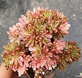 소인제금 small size Aeonium sedifolius