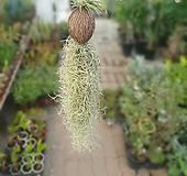드루이드 코코넛 수염틸란드시아 50~70cm 69 공중식물 수입식물|