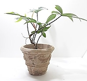레드비오리 (중) 이태리 토분 *쟈스민 식물* 