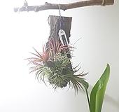 괴목 틸란드시아 이오난사 (소) *쟈스민 식물*|Tillandsia