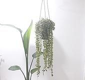 디스케리아 (중) *쟈스민 식물* 
