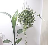 디시디아 (대) *쟈스민 식물* 