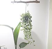 디시디아 (소) *쟈스민 식물* 