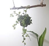 디시디아 반볼 (중) *쟈스민 식물* 