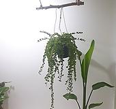 밀레니엄하트 그린 (중) *쟈스민 식물* 