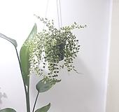 밀레니엄하트 칼라 (중) *쟈스민 식물* 