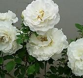 독일장미.4계.코스모스.사랑스런 크림 화이트색.old rose 향기.꽃8cm.아주예뻐요.정원장미.월동가능.상태굿.늦가을까지 피고 합니다.~~~ Echeveria Mose