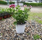 캔디제라늄 소중품 20~40cm 69 페라고늄 반려식물|