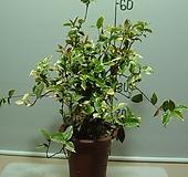 나로도무늬마삭줄-원종(자연산원종그대로)-완성분-현애난분-동일품배송|