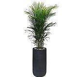 아레카야자 나무 아래카야자 (폴리롱 완성분) 특이식물|