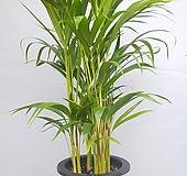 천연가습기 아레카야자/공기정화식물|