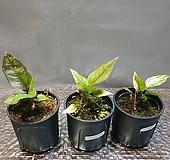 안시리움 바리에기타(수입식물) 색상이 고급스럽고 특이해요|