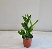 카틀레아 보라/공기정화식물/반려식물/온누리 꽃농원 