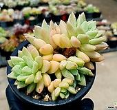 아메치스교배종 4-283 Graptopetalum amethystinum