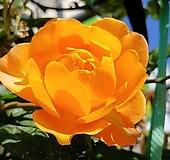 네델란드장미.특대품.허니 캬라멜.웨딩부케용장미.예쁜선명한주황색.과일향과몰약향기.(꽃형 예쁜형).울타리.넝쿨장미.월동가능.상태굿..늦가을까지 피고 합니다.~|