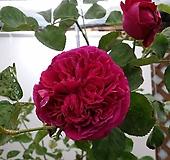 영국장미.특대품.폴스탑.old rose 향기강함.진한심홍색.귀한상품!!!(컵모양 큰꽃형 예쁜형).울타리.넝쿨장미.월동가능.상태굿..늦가을까지 피고 합니다.|