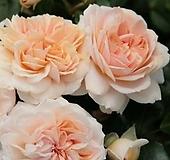 독일장미.4계.가든오브로즈.사랑스런 파스텔 핑크색.old rose 향기.꽃10cm.아주예뻐요.정원관목장미.월동가능.상태굿.늦가을까지 피고 합니다.~~|