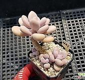 아메치스421 Graptopetalum amethystinum