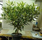 워터자스민 특특대품6번-물을좋아하는향기좋은나무-동일품배송 