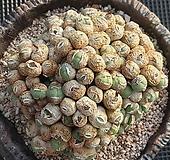 코노피튬왕대품 Conophytum