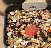 레드마우가니36-분채배송 Conophytum maughanii