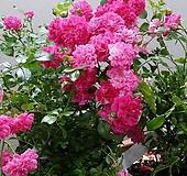 독일장미.4계.페피타.사랑스런 예쁜진핑크색.꽃작은형.꽃3cm.아주예뻐요.정원장미.월동가능.상태굿.늦가을까지 피고 합니다.|