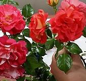 독일장미.4계.게브뤼더그림.예쁜밝은오렌지,레드,핑크색.old rose 향기.꽃7~8cm.아주예뻐요.정원관목장미.월동가능.상태굿.늦가을까지 피고 합니다.~~|