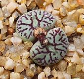 위트버젠스 2두 Conophytum Wittebergense