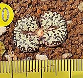 Conophytum obcordellum ssp  