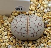 반질리 레드라인 306 Conophytum vanzylii