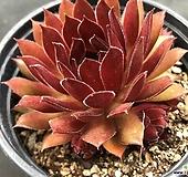 마호가니바위솔 75 Conophytum maughanii