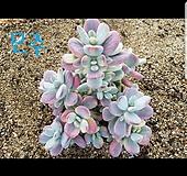 수박금최상급 방울복랑금203(모주처럼키워보세요)|Cotyledon orbiculata cv variegated