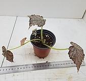 베고니아프로스티1253-a|Echeveria pulvinata Frosty