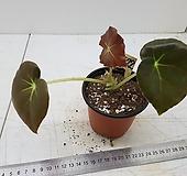 베고니아연잎1072-10가|