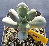 호피방울복랑금|Cotyledon orbiculata cv variegated