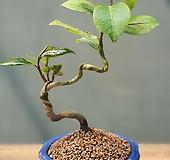 동백, 거제토종 동백601-|