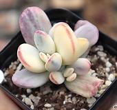 방울복랑금 0601-29 |Cotyledon orbiculata cv variegated